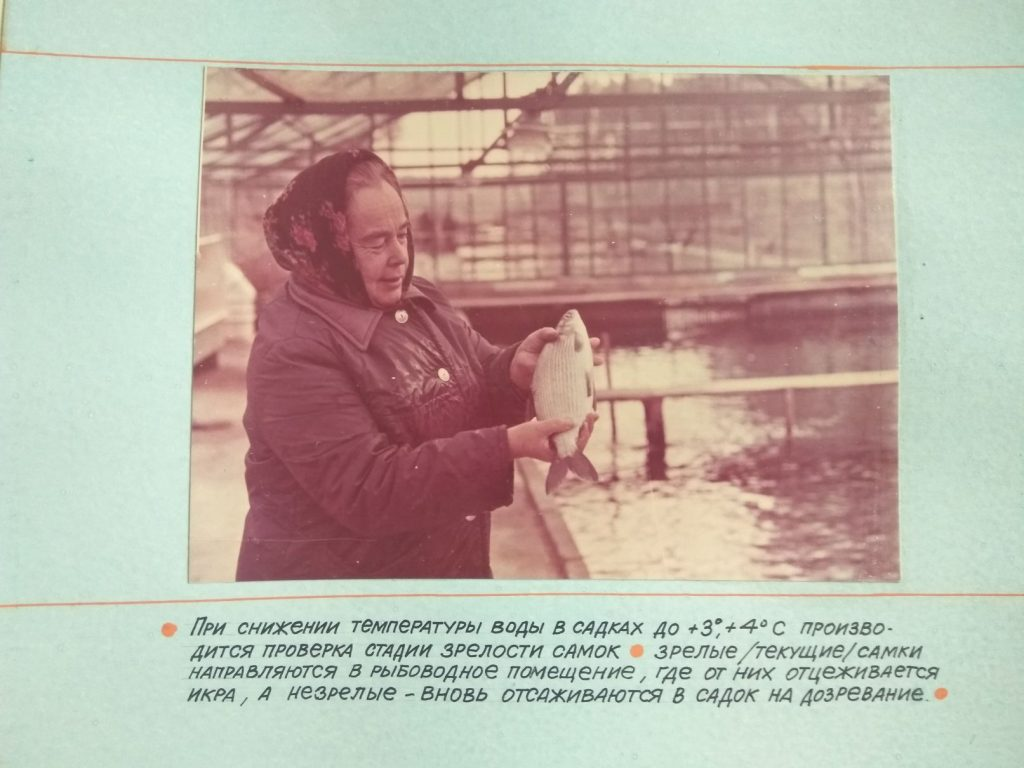 При снижении температуры воды в садках до +3,+4С производится проверка стадии зрелости самок.